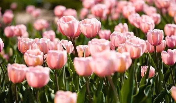 Holland Flowers Festival, in Olanda con i tulipani