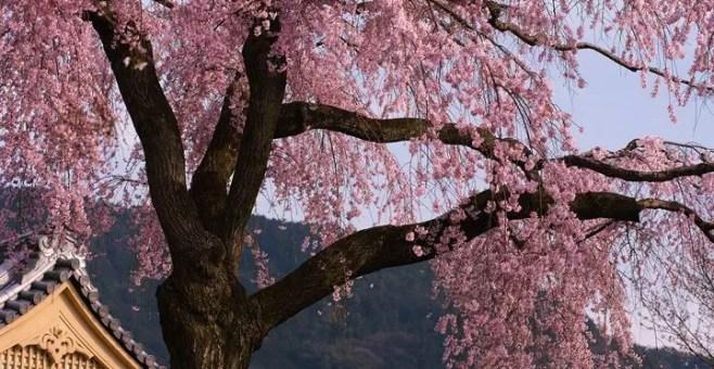 Offerte per la primavera: Giappone in fiore