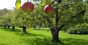 Adotta un melo in Val di Non, ecco come fare
