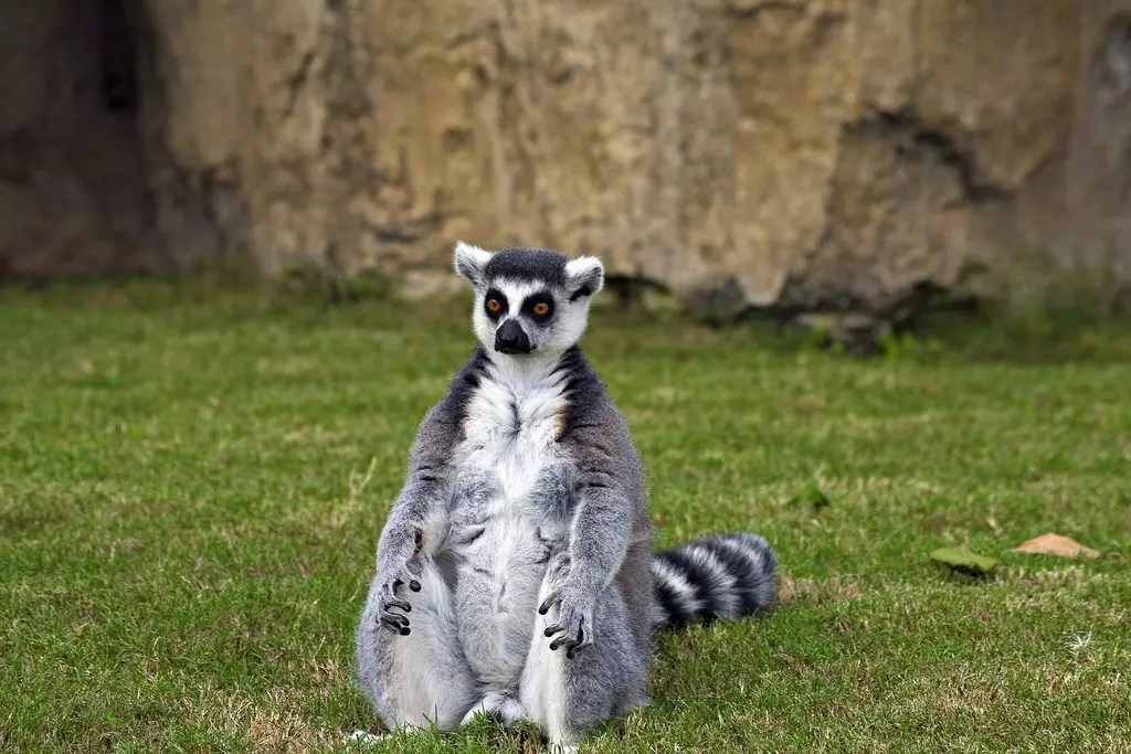 lemure-valencia