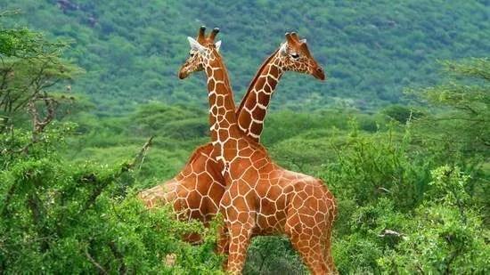 contest-giraffe