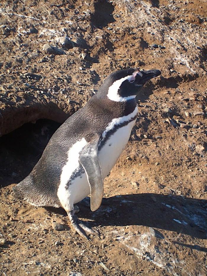 pinguino curioso terra del fuoco