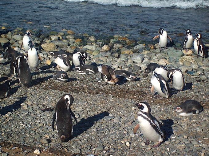 simpatici pinguini terra del fuoco