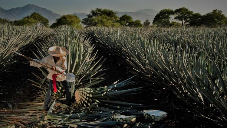 contadino raccoglie agave per tequila
