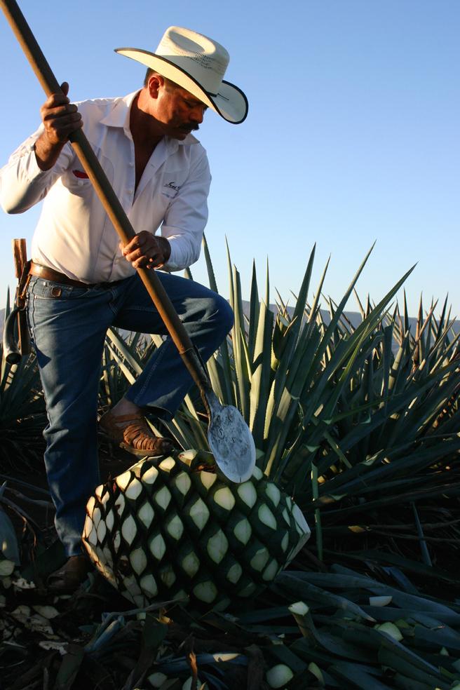 contadino raccoglie una agave azul per il tequila