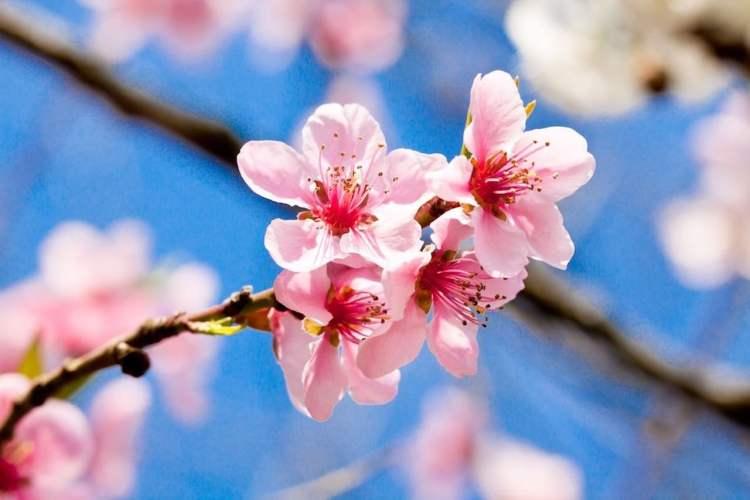 la fioritura dei ciliegi con fiori a 5 petali