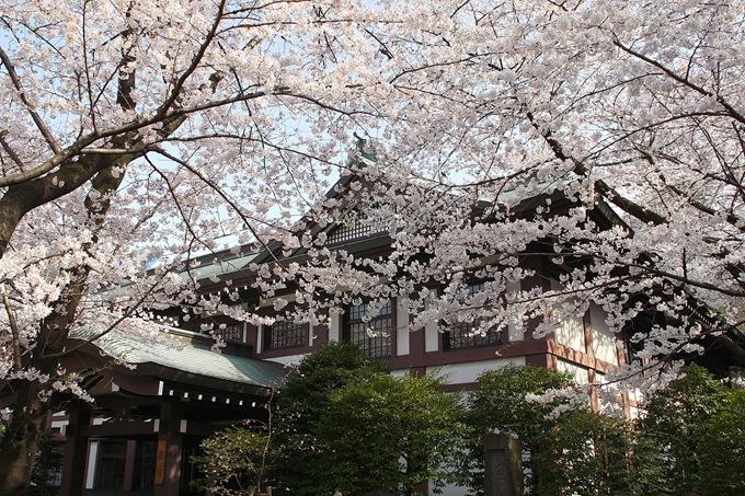 fioritura dei ciliegi allo allo Yasukuni-Jinja di Tokyo