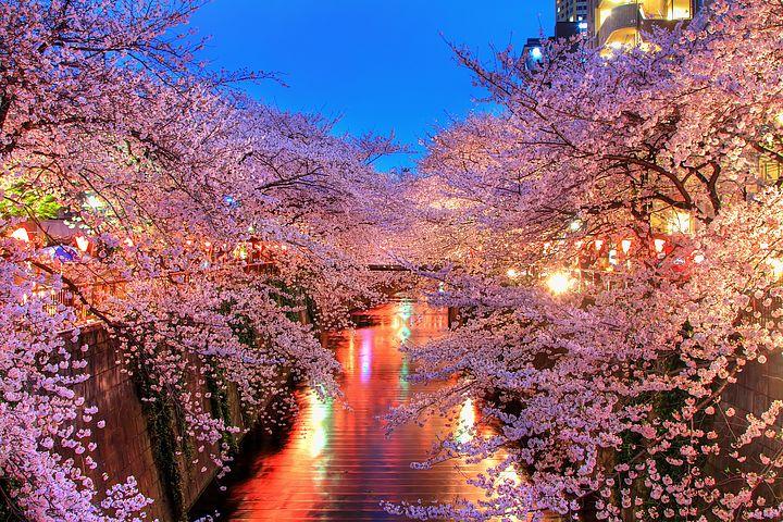 hanami di okinawa alla festa della fioritura dei ciliegi