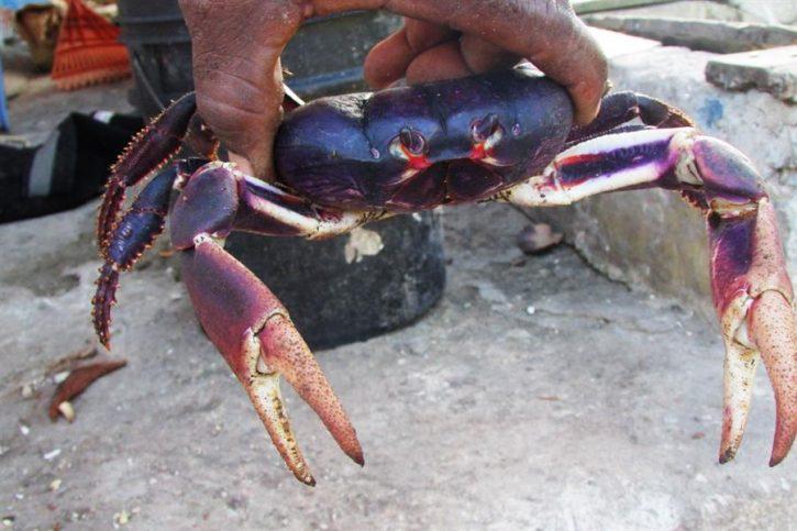 Il granchio nero tipido dell'arcipelago di San Andrés e Providencia