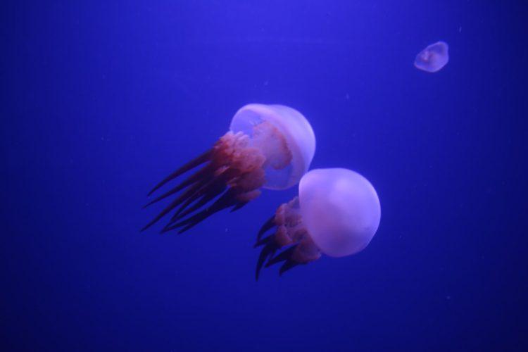 alcune meduse che nuotano nelle vasche dell'acquario di valencia