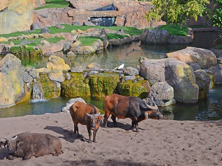due esemplari di bufalo rosso ospitati nel bioparc di valencia