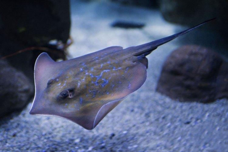 Una curiosa manta ospitata nell'acquario