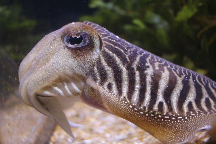 una curiosa seppia in una vasca dell'Oceanogràfic