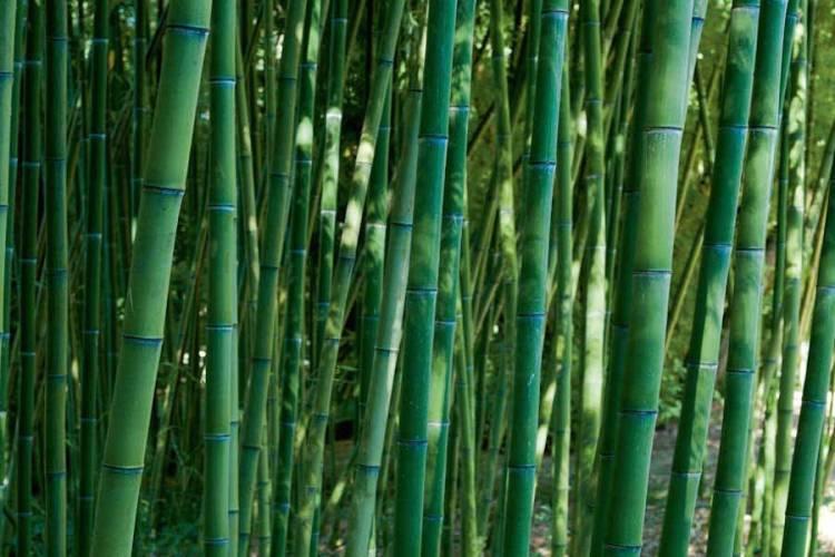una delle specie di bambù usate per la costruzione del labirinto della masone