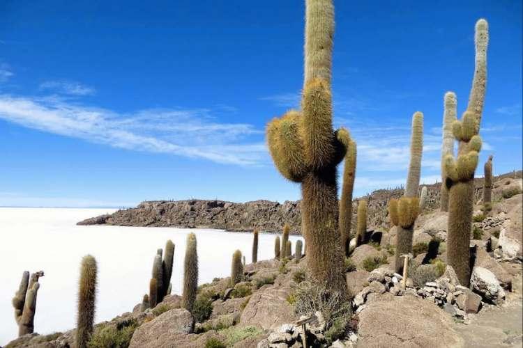gli altissimi cactus sulla isla incahuasi nel cuore del salar de uyuni