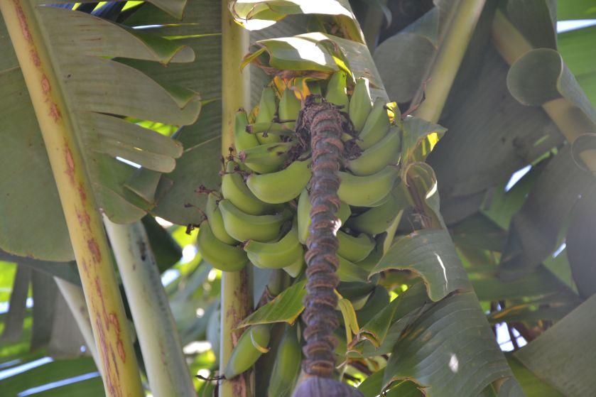 Banano Royal Botanic Gardens Sydney