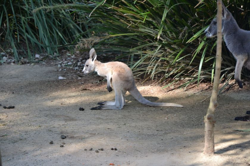 Cucciolo di Canguro Taronga Zoo Sydney