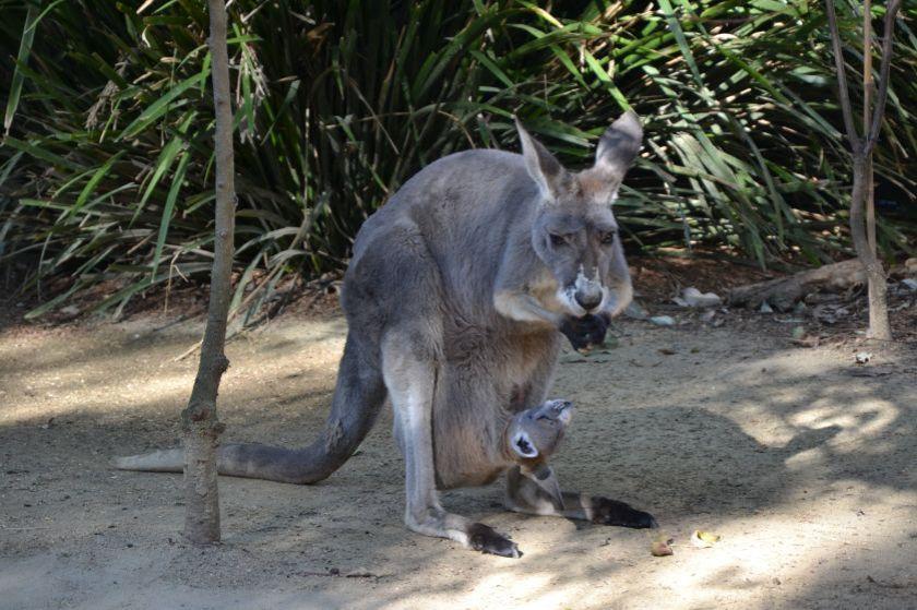 Mamma Canguro Taronga Zoo Sydney