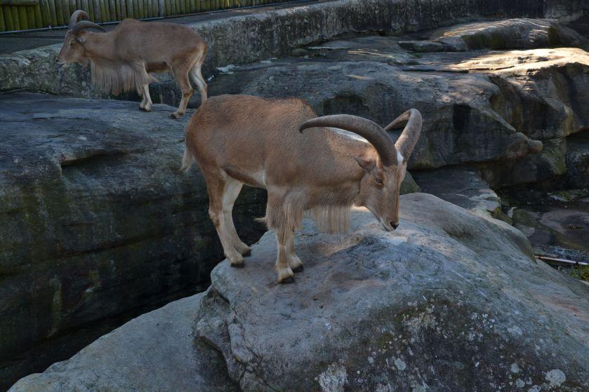 Stambecco Taronga Zoo Sydney