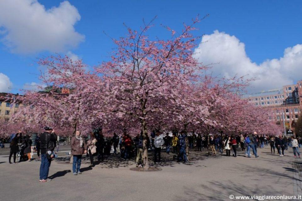 stoccolma fioritura ciliegi