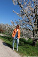 fioritura ciliegi vignola modena