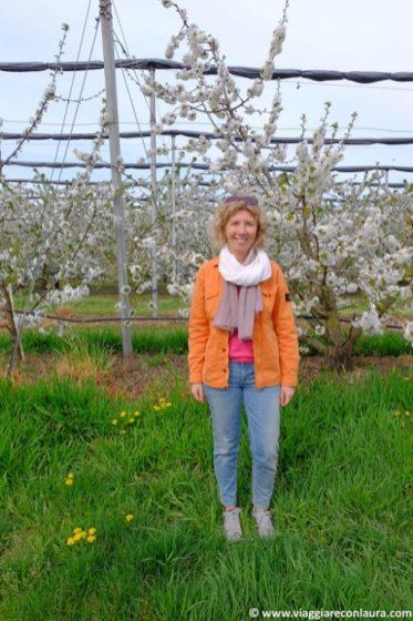 fioritura dei ciliegi vignola modena