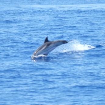 stenella striata avvistamento cetacei