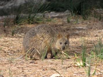 Australia - Rottnest Island - Quokka