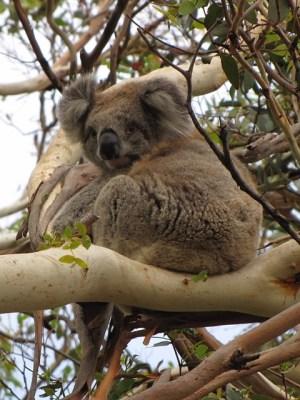 Australia - The Great Ocean Road - Otway National Park - Koala