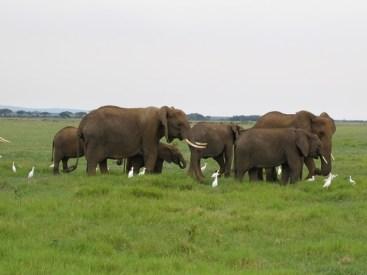Kenya - Amboseli National Park - Elefanti africani