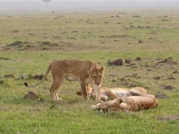 Kenya - Amboseli National Park - Leonesse
