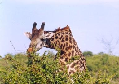 Kenya - Tsavo West National Park - Giraffa