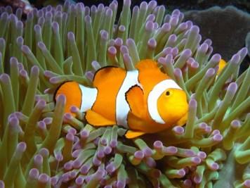 Indonesia - Walea Island - Pesce Pagliaccio Clown