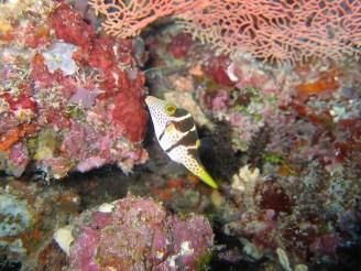 Indonesia - Nabucco Island - Pesce palla fasciato