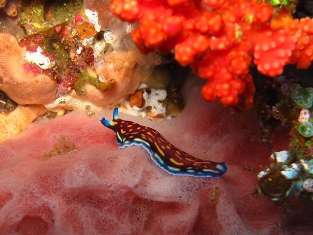 Indonesia - Flores Island - Nudibranco