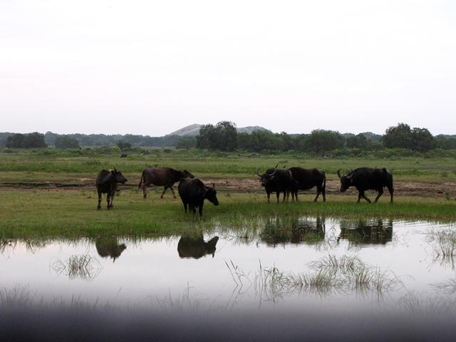 Sri Lanka - Yala National Park - Bufali