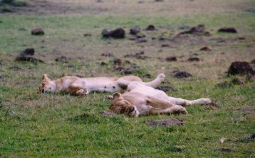 Kenya - Maasai Mara National Reserve - Leonesse