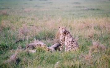 Kenya - Amboseli National Park - Ghepardo con preda