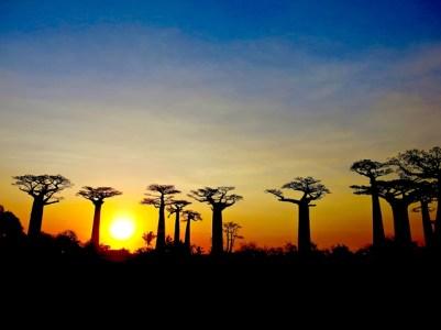 Madagascar - Morondava - Allée des baobab