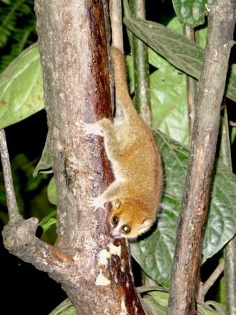 Madagascar - Parco di Ranomafana - Lemure Microcebus rufus