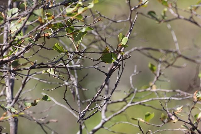 Insetto stecco Madagascar