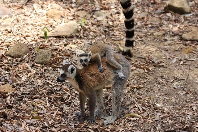 Lemuri Isalo Madagascar parchi
