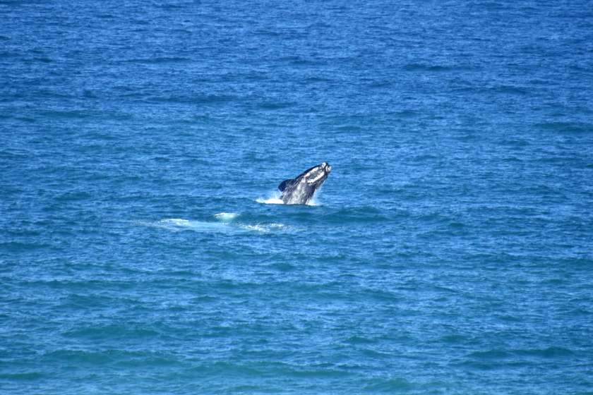 sudafrica-agosto-balena