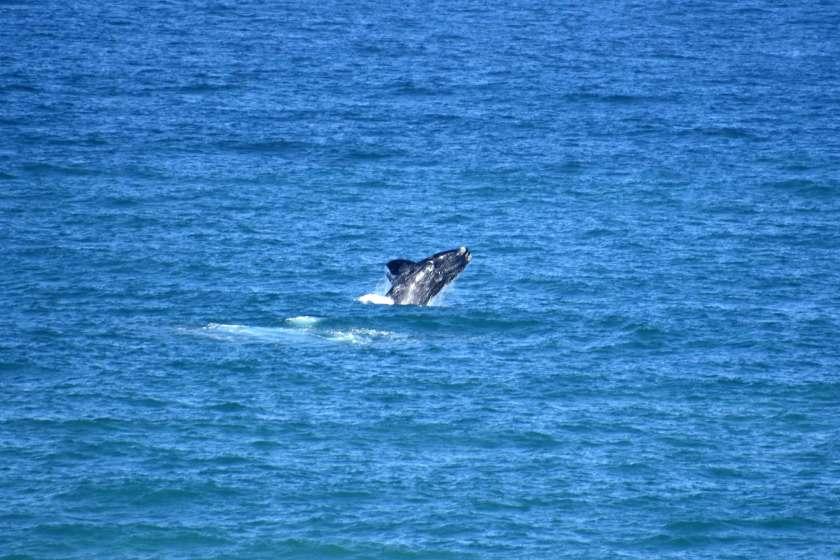 sudafrica-agosto-whale-watching