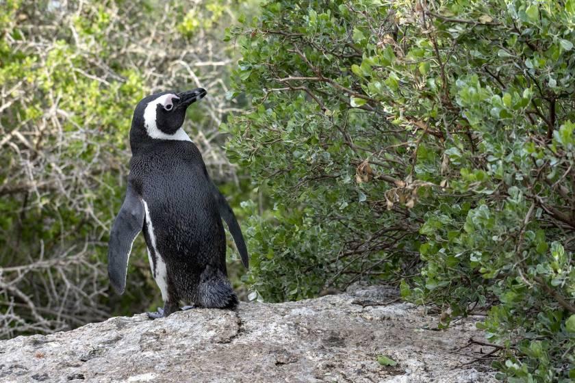 Piguini-a-Cape-Town---Boulders-Beach
