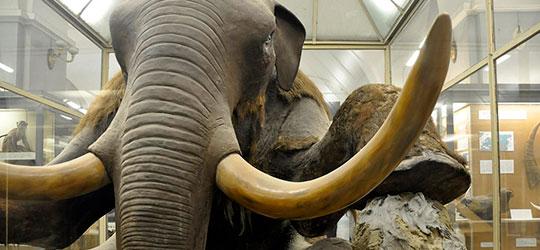 L'eterno pasto del Mammut della Beresovka
