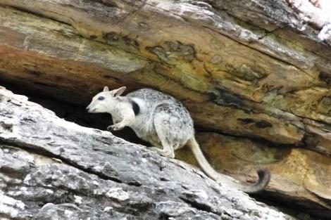 Wallaby en Ubirr