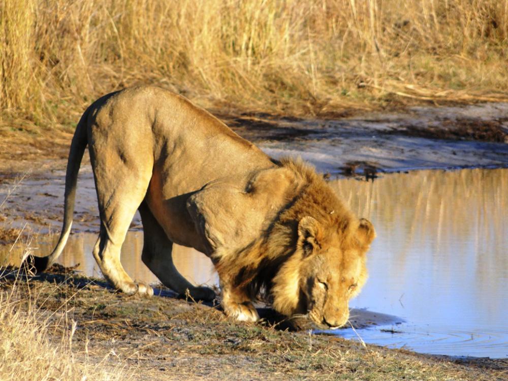León en el Delta del Okavango