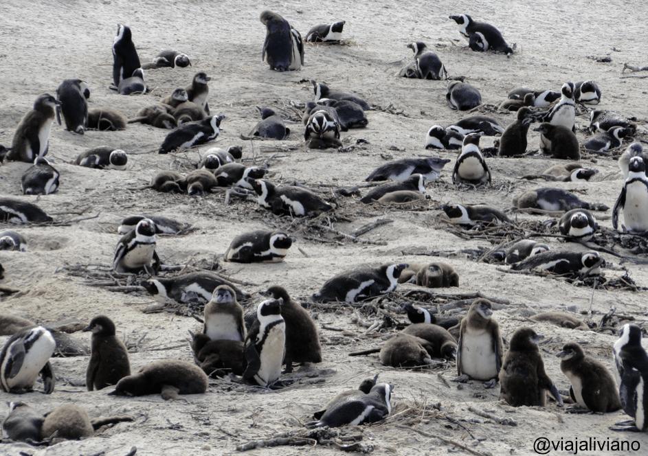 Colonia de Pingüinos en Simon's Town