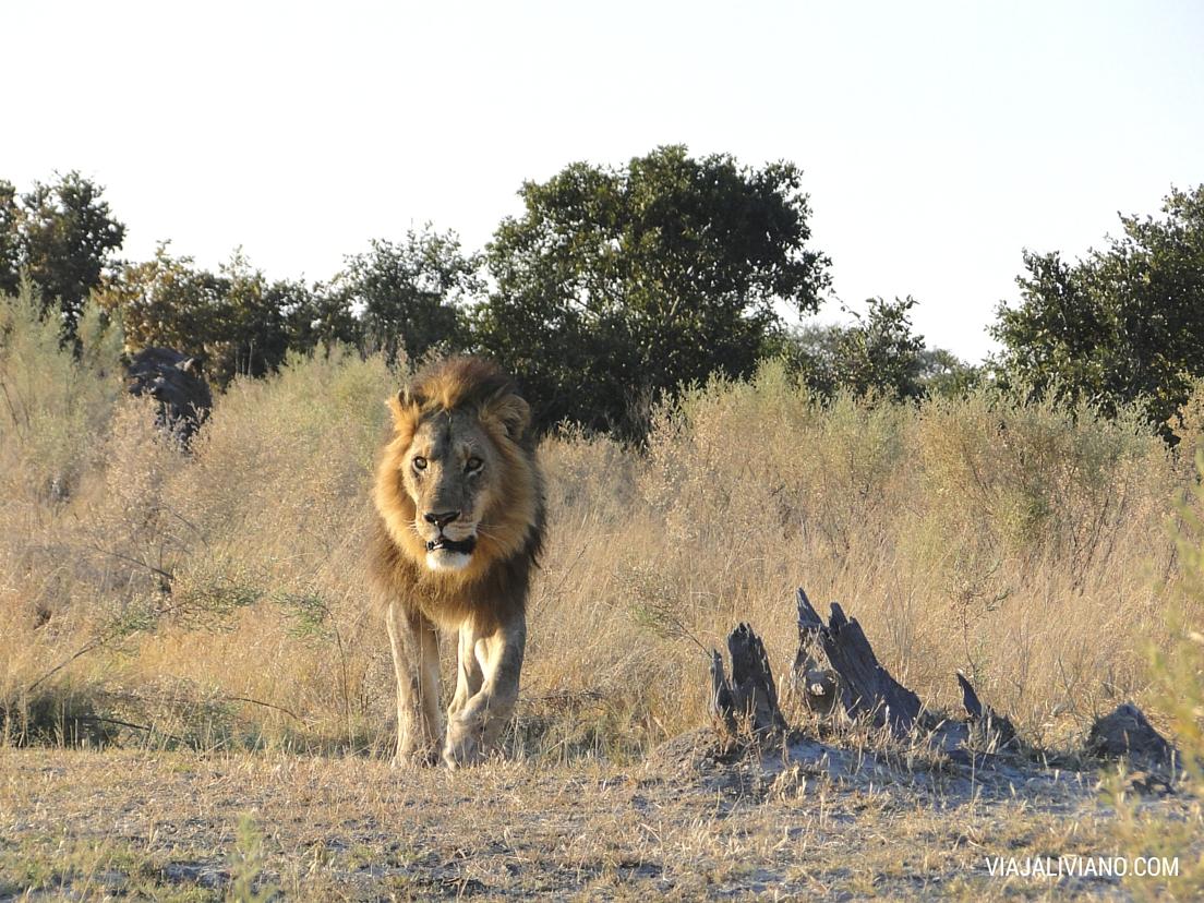 León en Botsuana